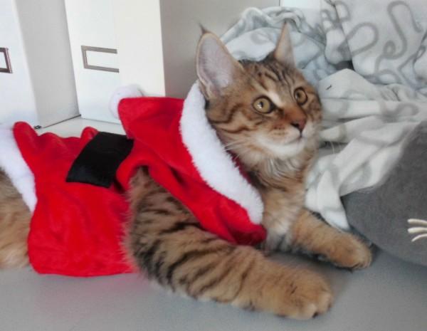 mittens-cutest-pixiebob-kitten-14-18-weken-10