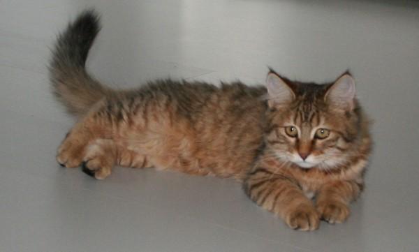 mittens-cutest-pixiebob-kitten-14-18-weken-12