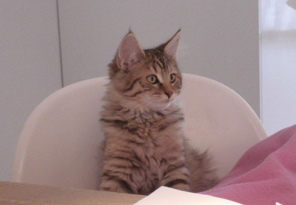 mittens-cutest-pixiebob-kitten-14-18-weken-6