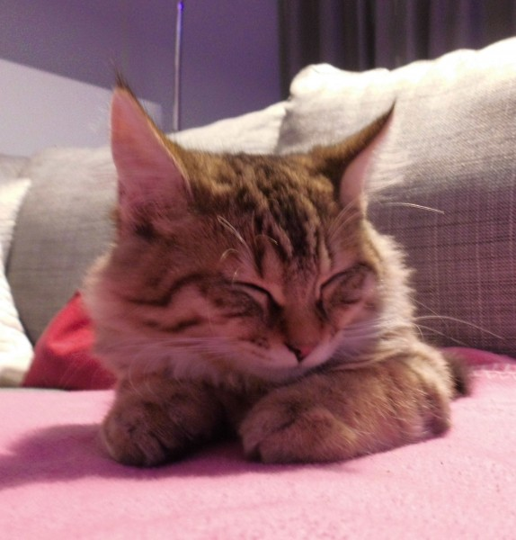 mittens-cutest-pixiebob-kitten-14-18-weken-8