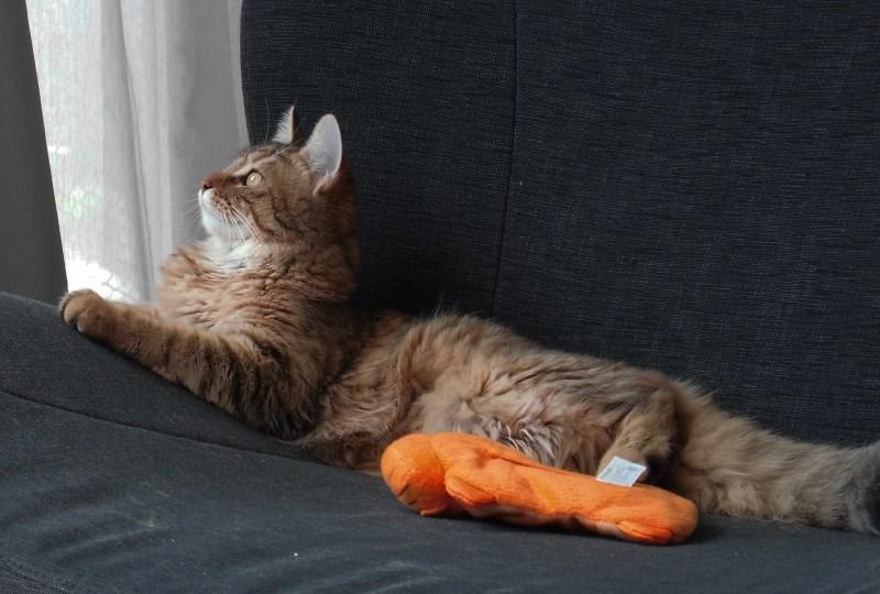 Mittens-cute-pixiebob-kitten-11-maanden-oud-funny-3