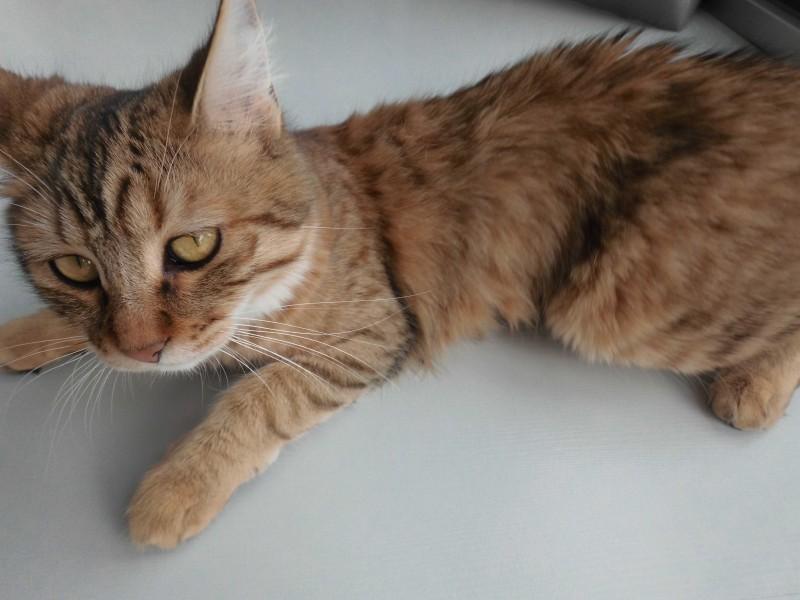 Mittens-cute-pixiebob-kitten-11-maanden-oud-funny-4