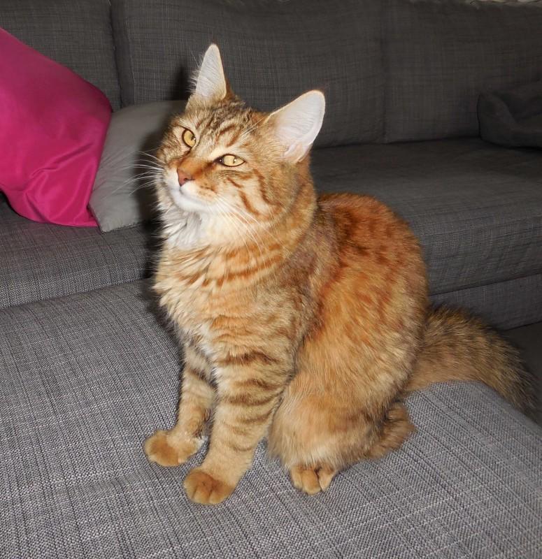 Mittens-cute-pixiebob-kitten-11-maanden-oud-funny-6