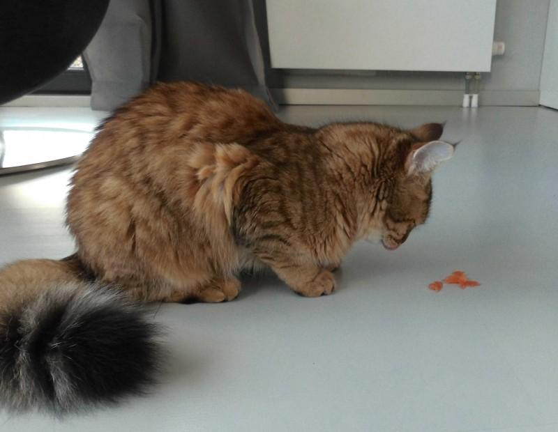 Mittens-pixiebob-kitten-1-jaar-oud-1
