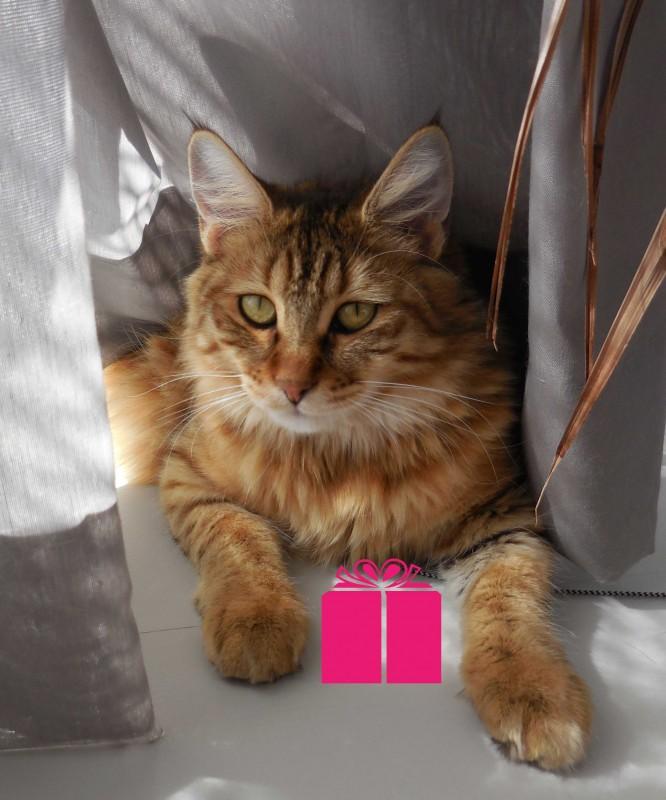 Mittens-pixiebob-kitten-1-jaar-oud-3